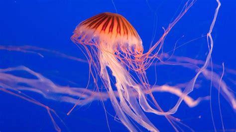 Las medusas no llegan a la costa por el calor ...