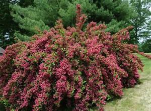 Weigela Bristol Ruby : weigela bristol ruby hedging plants ~ Michelbontemps.com Haus und Dekorationen