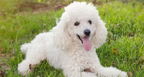 Poodles: Everything You Need to Know About the Breed
