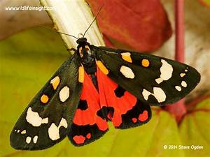 Scarlet Tiger moth (Callimorpha dominula) | Wildlife Insight