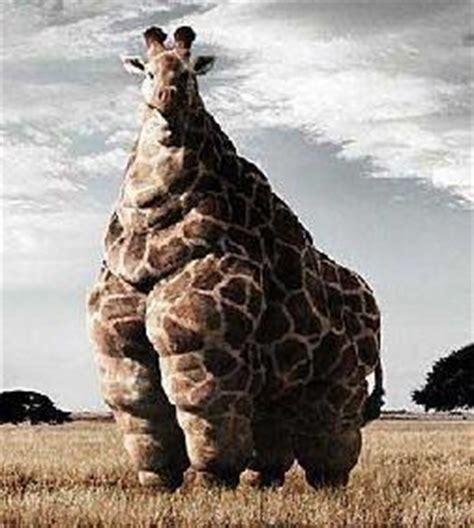 fat giraf emmelne