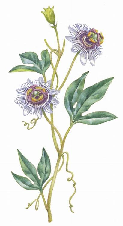 Spiritual Chill Passion Flower Orders Shipping