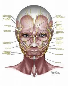 Resultado De Imagen Para Face Anatomy