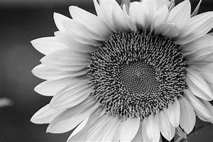 Black and White Sunflower | Paintings and Art | Pinterest ...