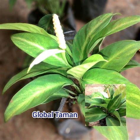 jual tanaman hias peace lily mini pohon spathiphyllum