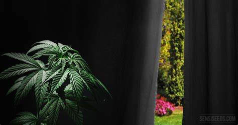 comment forcer la floraison du cannabis cultiv 233 en