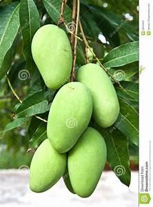 Green Mango Stock Image - Image: 20510591