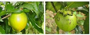 Buah-buah Nadir