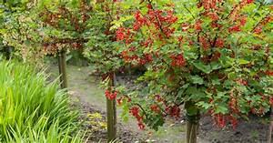 Rote Johannisbeeren Hochstamm Schneiden : johannisbeeren schneiden mein sch ner garten ~ Lizthompson.info Haus und Dekorationen