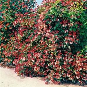 Blühende Kletterpflanzen Winterhart Mehrjährig : g rtner p tschkes gei blatt von g rtner p tschke ~ Michelbontemps.com Haus und Dekorationen