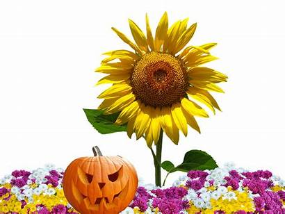 Autumn Flowers Asters Fall Pixabay