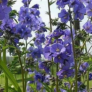 Acheter Des Plantes : polemonium caeruleum pol moine bleue plantes vivaces acheter des plantes en ligne ~ Melissatoandfro.com Idées de Décoration
