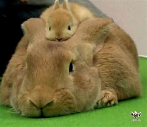 cute baby rabbit   parents head luvbat