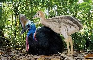 Gardening for Cassowaries   Australia, Rainforests and Rainforest birds