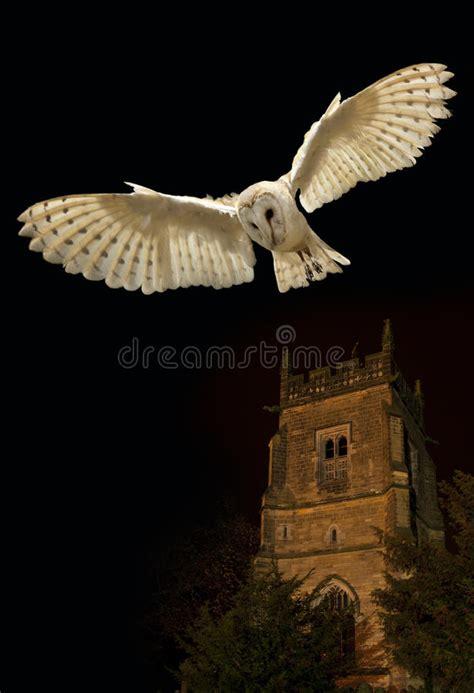 barn owl  flight  night stock photo image  wild