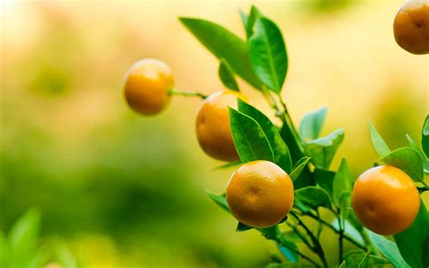 Download Wallpaper Fruit Tree Gallery