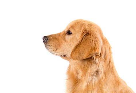 Golden Retriever Dog Breed Information American Kennel Club