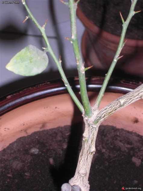 citronnier greff 4 titine95 les galeries photo de plantes de gardenbreizh