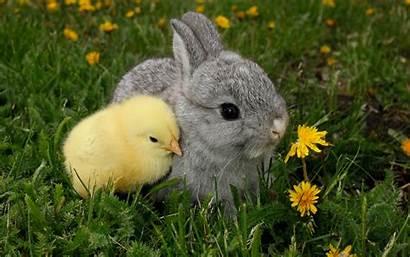 Chicks Bunnies Wiki Bunny Chick