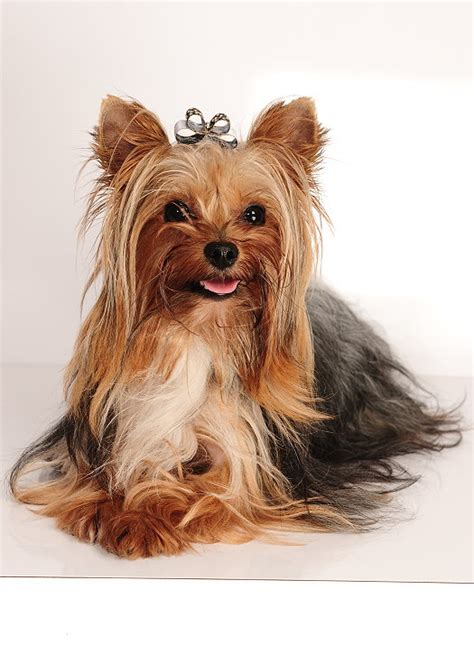 yorkshire terrier super mini deckruede black  tan sucht