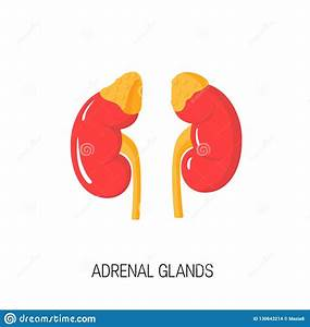 Vector Diagram Of Adrenal Glands In Flat Style  Stock