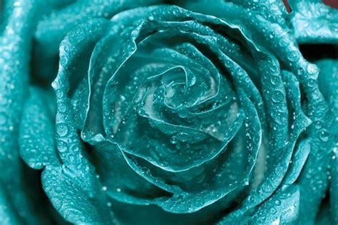 teal rose photo digital download fine art photography rose petals water drops teal wall art