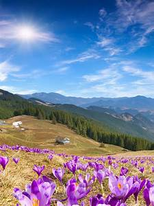 Wallpaper Crocus flowers, Mountains, Spring, Sunny day, 5K ...