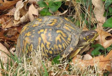 Backyard Wildlife Turtle » Curious Cat Science And