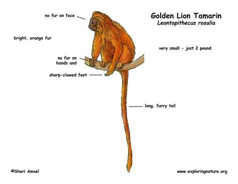 monkey golden lion tamarin
