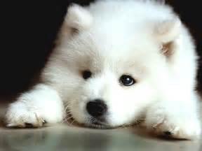 Do Miniature Shar Pei Shed by Sad Samoyed Puppy Photo And Wallpaper Beautiful Sad