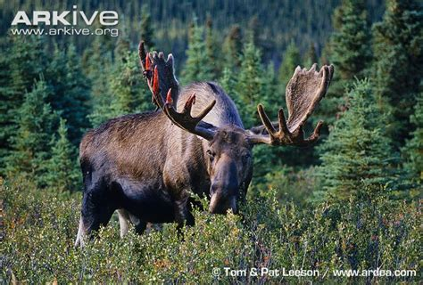 moose photo alces americanus g54275 arkive