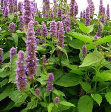 wholesale garden buy wholesale patchouli plant seeds from china