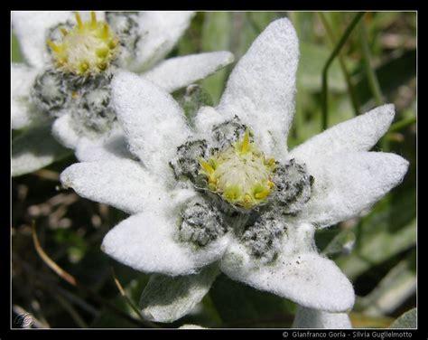 edelweiss fiore alpino emiliano la guida dei sogni la stella alpina