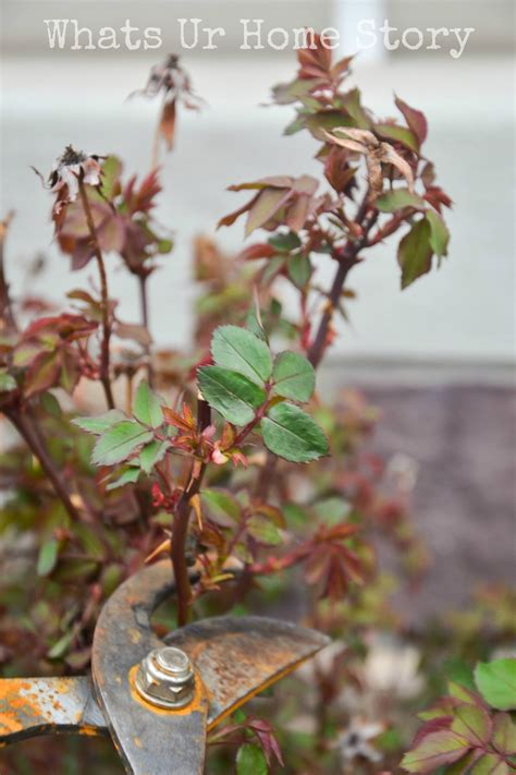 when do you prune roses pruning knockout roses whats ur home story