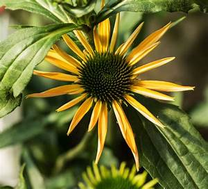 Sonnenhut Pflanze Kaufen : sonnenhut aloha echinacea purpurea aloha g nstig online kaufen ~ Buech-reservation.com Haus und Dekorationen