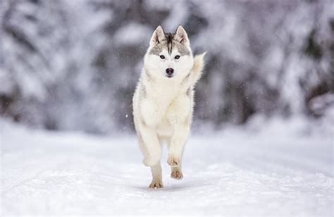 Siberian Husky Personality, History, And Pictures