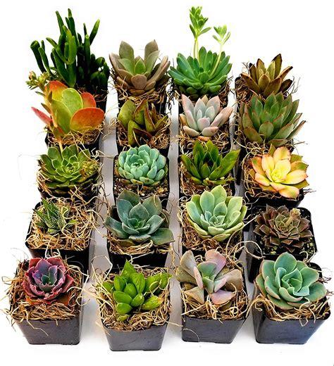 16 Mini Succulents - Fat Plants San Diego
