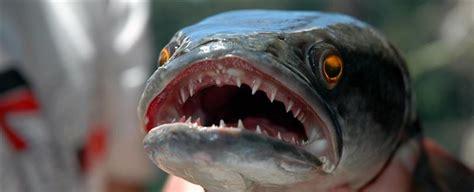 fishzilla snakefish invasion   fence
