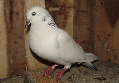 raising pigeons modern farming methods