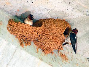 how to get rid of barn swallows how to get rid of barn swallows effective tips to