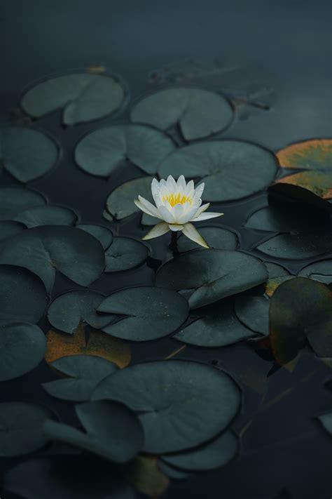 Download wallpaper 4000x6000 lotus, flower, petals, leaves ...