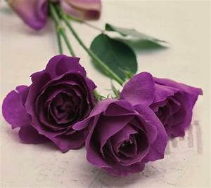 most beautiful purple roses Gallery