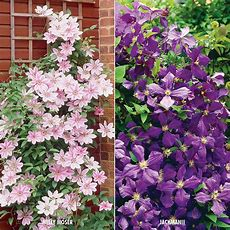 Van Zyverden Clematis Collection 2 Varieties (set Of 2