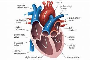 Draw Labelled Diagram Of Heart And Write Its Function