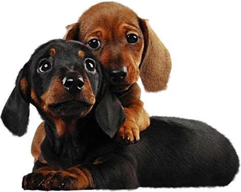 Two Cute Puppies Png Clipart  Gallery Yopriceville High