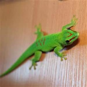 Geckos for sale Geckos online at Exotic Pets UK