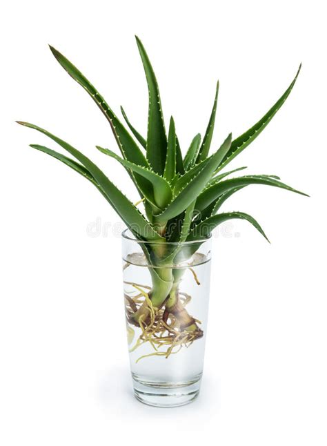 aloe vera  roots   glass  water stock photo