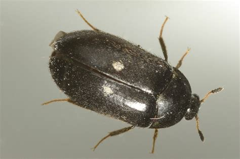 Two-spotted Carpet Beetle