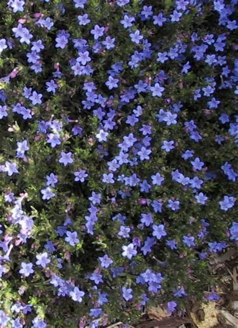 colorful ground cover lithodora a colorful blue flowering ground cover