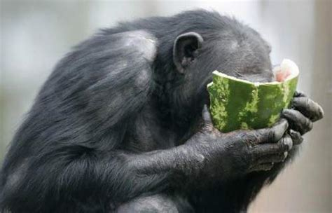 animals eating watermelons  pics amazing creatures